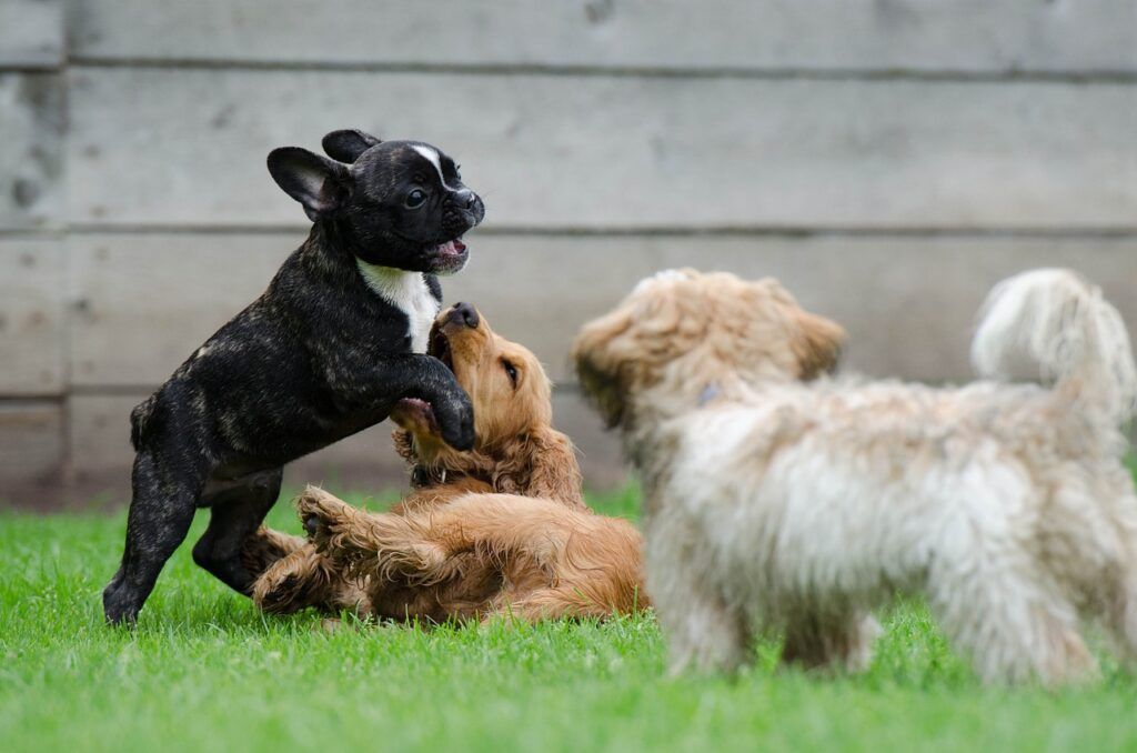 playing puppies, young dogs, french bulldog