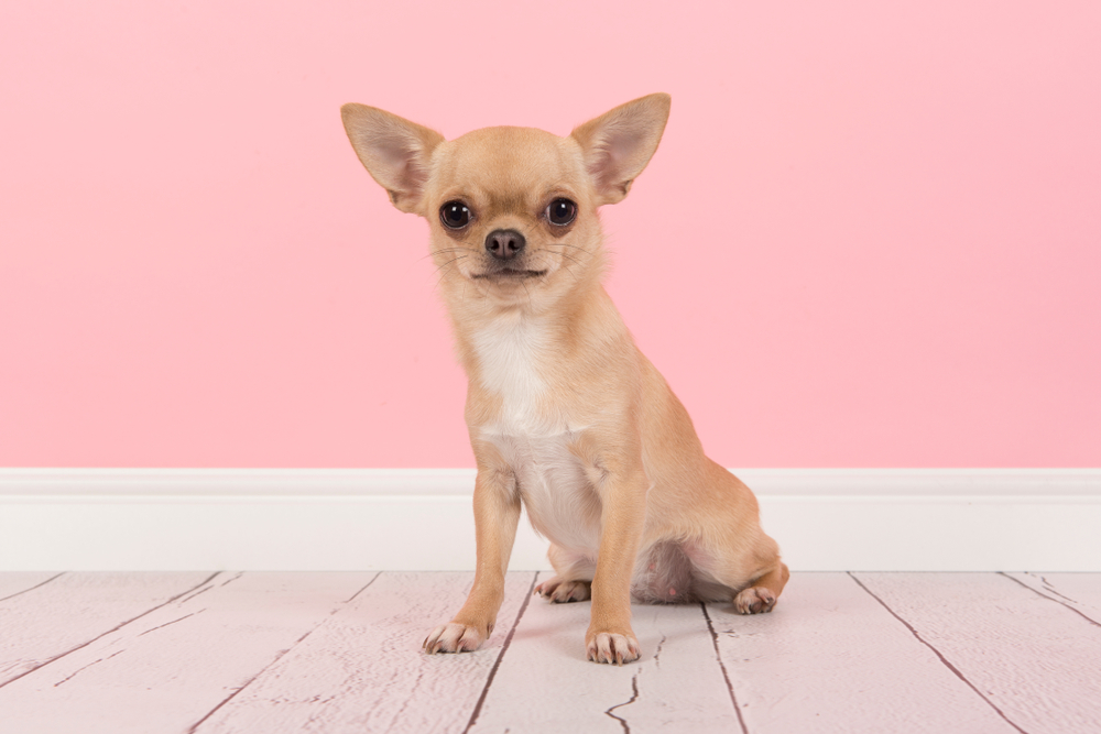 Cute,Light,Brown,Chihuahua,Dog,Sitting,In,A,Pink,Living